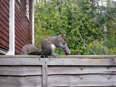 squirrel snacks (whitworf) Tags: animal squirrel funny snickers