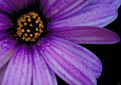 Margarita (_Zahira_) Tags: flower lafotodelasemana flor nd daisy margarita violeta p1f1 ltytrx5 ltytr1 top20purple
