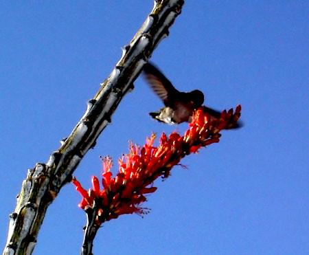 desert humingbird