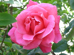 Rose (Michele*mp) Tags: pink france flower fleur rose fleurs grenoble spring europe printemps dauphin onlythebestare michelemp