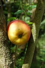 pomme (grooman1) Tags: nature fleur insolite pomme