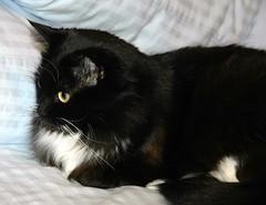 Someone is just too cute!!!  :-D (Shawn's Kitty (Busy Healing!)) Tags: bw cat blackwhite sweet kitty tuxedo bestofcats shawnskitty