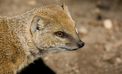 Meerkat (ronny..) Tags: meerkat thenetherlands rhenen ouwehandsdierentuin sigma70300apo nikond40 ouwehandszoo