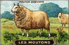 mouton 9