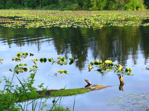 Lacamas Lake Lily Pads