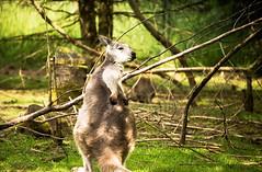 kangaroo Scratch (Jose F. Sosa) Tags: kangaroo scratch