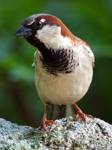 House Sparrow © Roger Butterfield