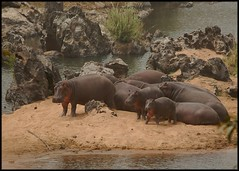 Hippo family (~Ranveig Marie~) Tags: africa travel family wild beach nature water animal animals river mammal nationalpark sand rocks babies hiking walk african wildlife natur relaxing hike safari tur rest hippo resting mammalia nord hippos cameroon naturewalk cameroun kamerun hippopotamuses babyanimals hippopotamusamphibius flodhest fottur hippopotamidae pattedyr benouenationalpark travelnig