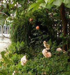 Garten sunshine- unterwuchs halbschatten 2008-06 (Brigitte Rieser) Tags: flower rose garden private österreich flora rosa blüte schatten garten niederösterreich loweraustria naturegarden naturalgarden naturgarten privatgarten