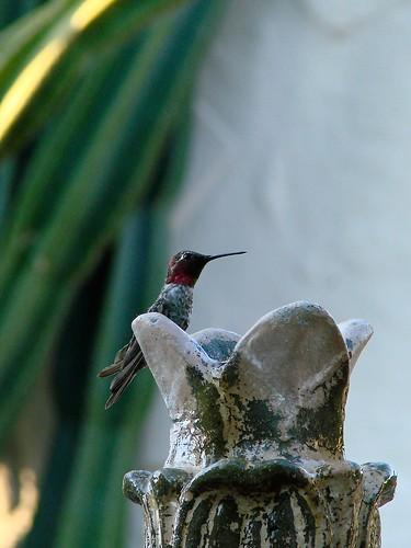 hummingbird giving me the eye