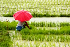 Planting Rice (REM (rembcc)) Tags: red umbrella rice paddy random philippines daily find planting mywin