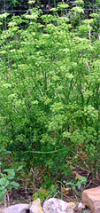 Parsley flowered and gone to seed
