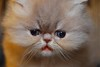 Theodore Close Up! (Betsy Cole Photography) Tags: red cats white cute face cat hair fur persian eyes kitten doll long moments sweet chocolate smoke tabby extreme kitty fluffy balls kittens lilac precious copper cameo breed pea smushy breeder cattery
