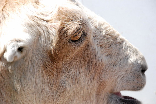 July 20, 2008 : Goats at the Zoo