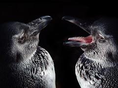 Pinguin Duo (Christine Gerhardt) Tags: pink 2 black bird tongue germany fun deutschland zoo penguin stuttgart humor pinguin vogel zunge wilhelma spheniscusdemersus tierfoto jackasspenguin sonyf707 brillenpinguin christinegerhardt wilhelmasingendetiere