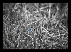 Aqua (pixbytommy) Tags: white black lynch nature grass tom photography virginia md nikon aqua photographer dragonfly thomas maryland tommy tomlynchphotography