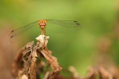 Here's looking at you.......HBW (cheryl c.) Tags: summer macro bug backyard dragonfly bokeh quote hbw funnylookingguy