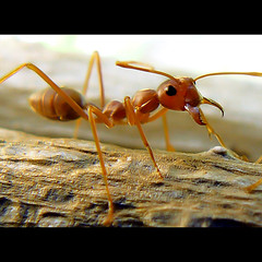 ant (tropicaLiving - Jessy Eykendorp) Tags: macro nature insect indonesia geotagged photography asia ant 888 insecta weaverants oecophylla utatafeature tropicaliving tropicalivingtropicallivingtropicalliving panasoniclumixdmcfz8panasoniclumixdmcfz8 jessyce geo:lon=115157318 geo:lat=8817225