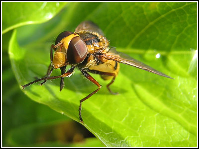 Hoverfly copy