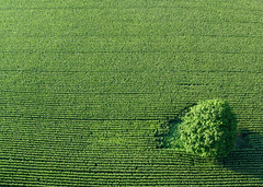 Green on green (stephanie.keating) Tags: tree green field lines rural flying corn cornfield country farming aerialview fromabove hotairballoon lookingdown agriculture viewfromabove cornrows savedbythedeletemeuncensoredgroup fave5 fave10 fave25 abstractaerial s10d6