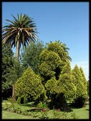 Árboles - La Toja (Canoso.) Tags: tree galicia árbol greatshot arbre árvore baum pontevedra toja asse toxa canoso kartpostal saveearth