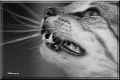"Miao BW_0161 (HVargas) Tags: slr animal cat wonderful sadness stand gorgeous ef50mmf14 gato sos lover canoneos soe republicadominicana luperon smörgåsbord canoneos5d canonlens liebre ef100400mml ef100400mm ef135mm efs1755mm canonrebelxti ef300mm ef180mm ef135 lifebeautiful digitaleeanalogico ef14x goldenphotographer canoneos40d canon40d ef400mm ef300 wonderfulworldmix kuwaitartphoto excapturemacro macro40d ef180mmf35lmacrousm ef28300mm ef1755mm ef3000mm ef283000mm spiritofphotography ""ourmasterpieces ef400mmf28l damniwishidtakenthat flickrlovers efmacro180mm ef28300mml macroef180mml macroefs60mmf28 canonef28300mml thepictureperfectgroup"