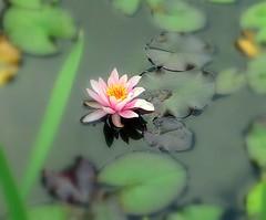 Lilypond (Jen Pinker) Tags: waterlily lilypond colourartaward