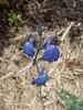 blue Salvia (louisa_catlover) Tags: flowers blue plant nature garden australia bluemountains salvia lamiaceae mountwilson