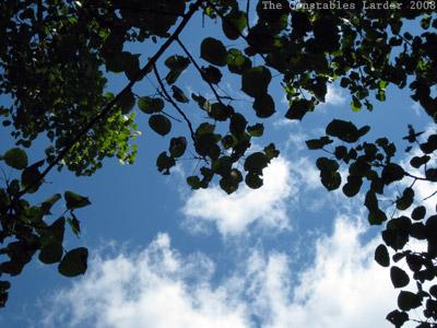 leaves overhead