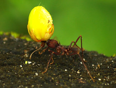Ants with flower for the queen! (Leopoldo Esteban) Tags: fauna colombia ant ants amazonas hormiga fourmis caqueta faunadecolombia faunaamazonica leopoldoesteban