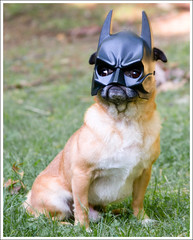 No, Really... I Am Batman ([Christine]) Tags: dog funny yoda mask pug batman capedcrusader mywinners anawesomeshot impressedbeauty