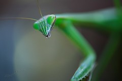 599-03 Mantis #3 (lalande21185) Tags: macro mantis insects canon5d prayingmantis macrolife