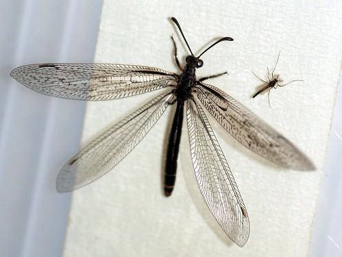 Antlion adult