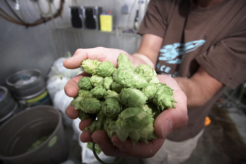 Laurelwood Brewery -- Fresh Nugget Hops