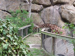 greedy giraffe