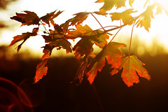 Fall Flare ({Kimberly.Wood.Photography}) Tags: autumn sunset red orange tree green fall leaves evening leaf seasons changing lensflare flare mapleleaf mapletree maples sunflare 50mmf18 nikond40 bokehwednesdayeve hbwe