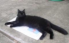 Iris on Newspaper (PaperBouquet of Mars) Tags: iris cats black cat blackcat outdoors reading newspaper kitty driveway kitties