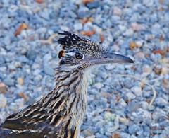 Rodrunner close up (martinat61) Tags: bird wildlife roadrunner goldstaraward virtualjourney