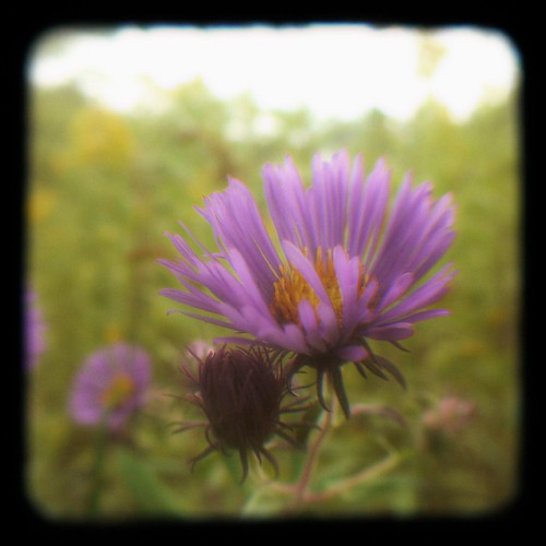 Aster in the Pasture