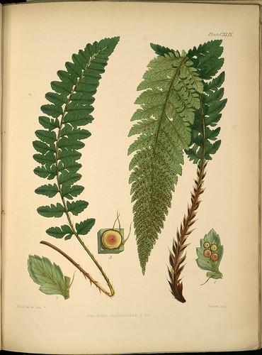Aspidium mohrioides