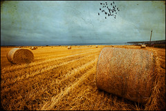 the Golden Fields (manlio_k) Tags: sky birds geotagged scotland wheat sigma fields 1020mm manlio grano cullen castagna scozia texturized memoriesbook manliocastagna rotoball manliok