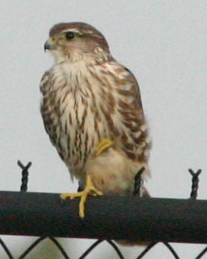 Merlin 20081211