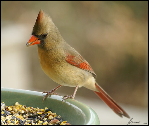 sweet Mrs. Cardinal-for Chris