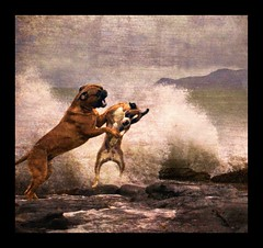 Revenge of the Boxer (Ptur Gunn Photograpphy) Tags: ocean dog playing dogs water geotagged fight war funny power wave boxer fighting bruno bullmastiff tanja dogpower aplusphoto