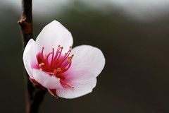 Early peach flower (Jason Dinh Ba Thanh) Tags: new flower macro photography early nikon flickr year peach vietnam 55mm micro pro d200 account tet lunar f28 lunarnewyear sapa ais nikond200 peachflower 55mmf28microais