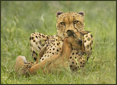 Deadly embrace (hvhe1) Tags: nature animal bravo searchthebest wildlife interestingness1 cheetah impala merrychristmas naturesfinest malamalagamereserve malamala specanimal rattrays vosplusbellesphotos thevisiongroup takelotsofpictures topsense