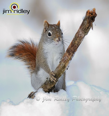 Squirrel (JRIDLEY1) Tags: winter snow squirrel soe cubism naturesfinest zenfolio mywinners worldbest platinumphoto anawesomeshot impressedbeauty ysplix goldstaraward natureselegantshots panoramafotogrfico jridley1 jimridley dailynaturetnc09 httpjimridleyzenfoliocom photocontesttnc10 lifetnc10 photocontesttnc11 photocontesttnc12 photocontesttnc13 takenondecember202008withd3