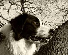 On Watch... (meg price) Tags: winter tree collie border bordercollie barney mywinners thelittledoglaughed diamondclassphotographer flickrdiamond theunforgettablepictures