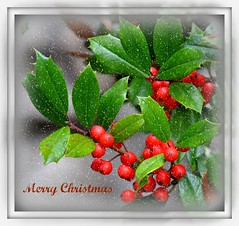 Merry Christmas (Tracey Tilson Photography) Tags: christmas charity winter friends holiday snow love hope nc flickr peace berries friendship respect prayer north compassion marion holly tolerance card gift carolina service merry wish 2008 greeting goodwill forgiveness goldstaraward micarttttworldphotographyawards micartttt ec gettyholidays2010