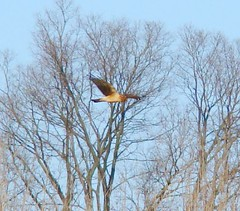 Second raptor of 2009 NOHA